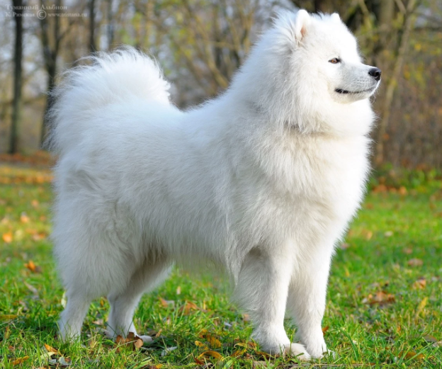 Dog Of The Month: The Samoyed